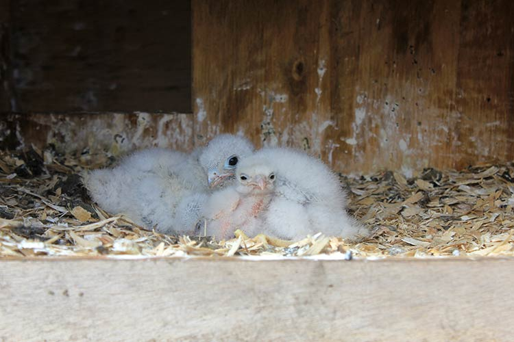 American Kestrel chicks.