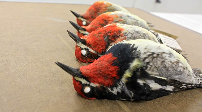 Bird specimens: red-breasted sapsucker and red-naped sapsucker