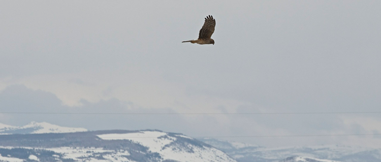 Female Northern Harrier flying over mountains.
